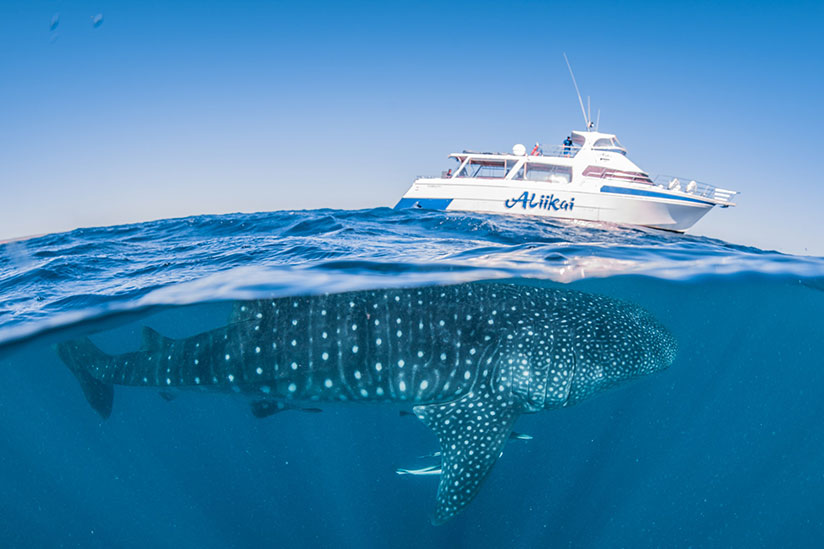 Ningaloo Whaleshark-n-Dive Whale Shark Adventure Swims Exmouth