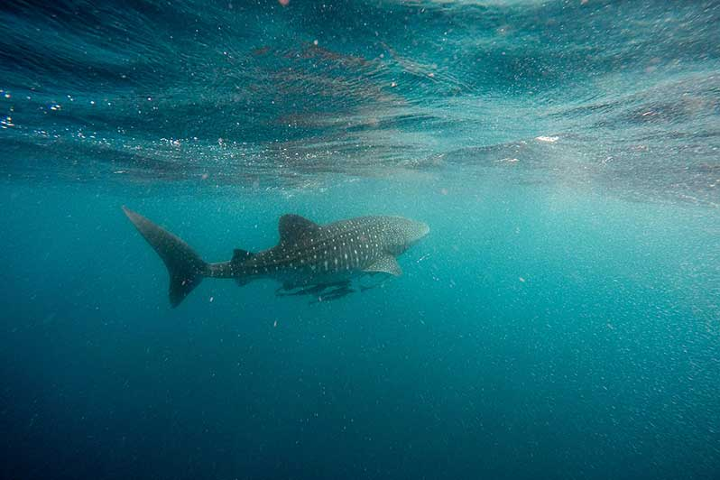 Whale Sharks in Exmouth